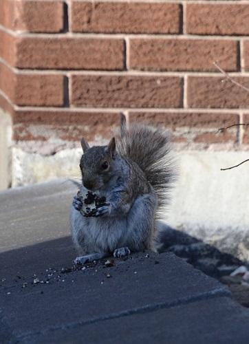 Écureuil glouton