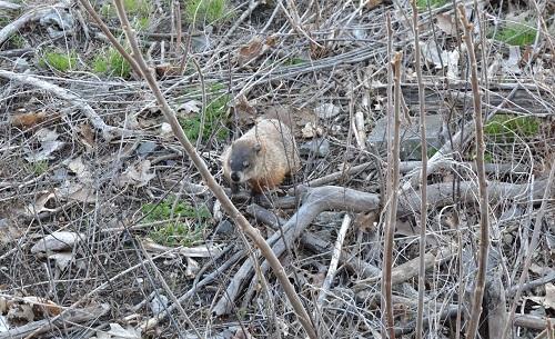 Marmotte dans le parc du Mont Royal