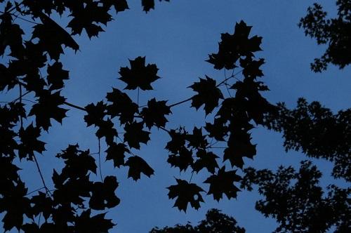 Ciel plein de feuilles d'érables.
