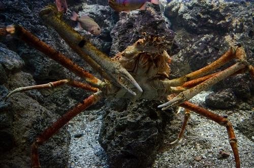 Une belle araignée de mer au Shedd Aquarium