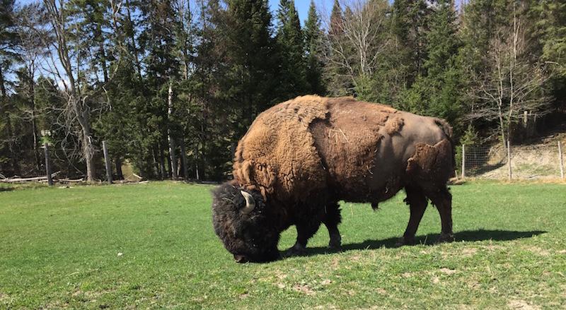 Le bison est impressionnant en vrai !