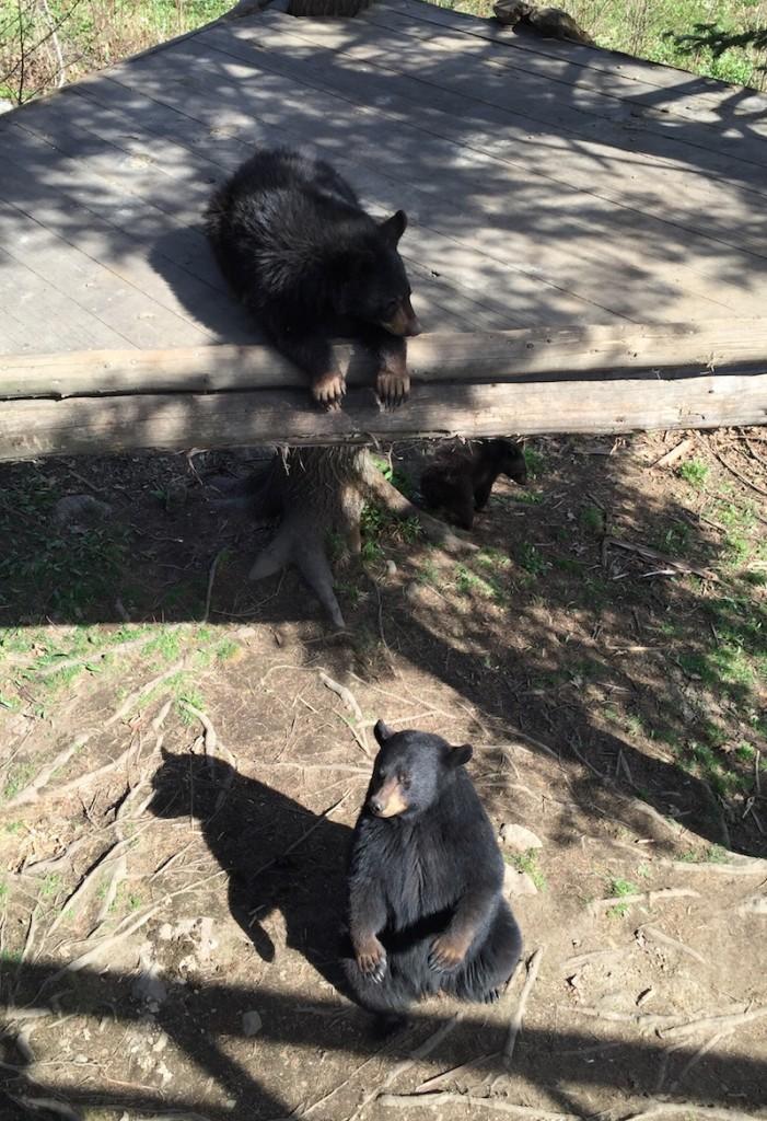 L'Ours Noir est plus agressif qu'il n'y parait